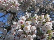 樱花宣布春天到来。 免版税库存照片