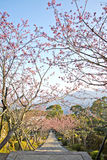 樱花山路在台湾 免版税库存图片