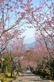樱花山路在台湾 库存图片
