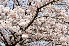 樱花开花 库存照片