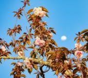 樱花月亮 库存照片