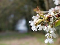 樱花有被弄脏的背景,Chorleywood共同性特写镜头  免版税库存照片