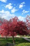 樱花树在小附近地区公园和操场 免版税库存照片