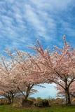 樱花树在郊区住宅邻里 库存图片