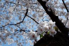 樱花树在镇海顾,釜山,韩国 免版税库存照片