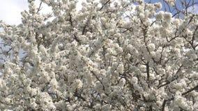 樱花树特写镜头在4月晴天 4K 影视素材