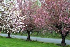 樱花树-加拿大鹅 库存图片