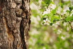 樱花树 免版税库存照片