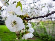 樱花树 库存图片