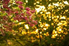 樱花桃红色在日落的树枝开花 免版税库存图片