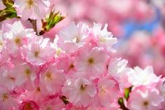 樱花桃红色花背景 免版税库存照片