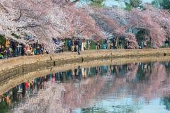 樱花热病 库存照片