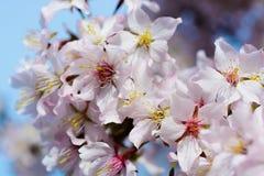 樱花的花在一个春日 免版税库存照片