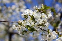 樱花的花在春日特写镜头的 免版税库存照片