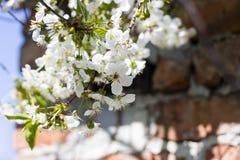 樱花的花在春日特写镜头的 库存照片