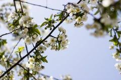 樱花的花在春日特写镜头的 库存图片