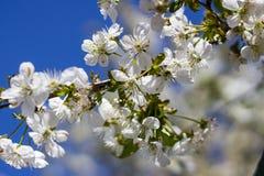 樱花的花在春日特写镜头的 免版税库存图片