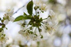 樱花的花在春日特写镜头的 免版税图库摄影