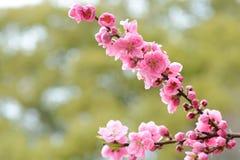 樱花第一朵桃红色花在日本晒干 免版税图库摄影
