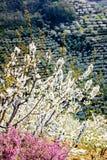 樱花结构树和石南花花 库存照片