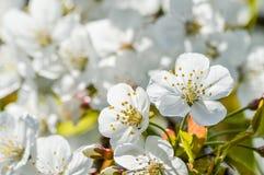 樱花背景 库存图片