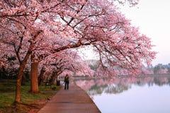 樱花节日循环华盛顿特区 免版税图库摄影
