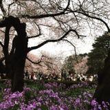 樱花观察 免版税库存图片