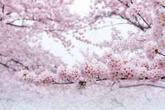 樱花,佐仓季节在韩国, Backgroun 免版税库存照片
