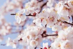 樱花,佐仓季节背景 免版税图库摄影
