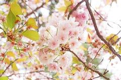 樱花,佐仓,在奈良的春天 免版税图库摄影