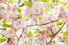 樱花,在开花的桃红色花有好的背景 免版税库存照片