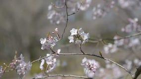 樱花,在昭和记念公园,东京,日本 影视素材