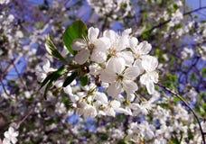 樱花,白花 免版税库存照片