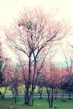 樱花,葡萄酒口气 库存照片