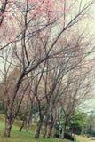 樱花,葡萄酒口气 库存图片