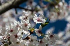 樱花, EUR,罗马 图库摄影