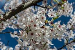 樱花, EUR,罗马 库存图片