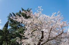 樱花, EUR,罗马 库存照片
