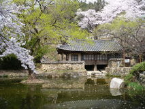 樱花绽放在春天在韩国公园 库存照片