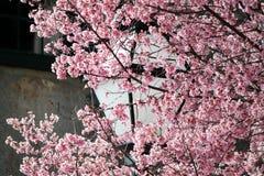 樱花绽放春天在查尔斯顿 免版税库存图片