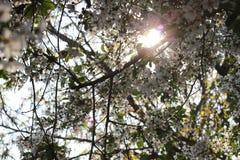 樱花 樱桃树颜色在春天 图库摄影