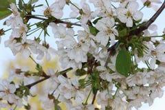樱花 精美白色开花 免版税图库摄影