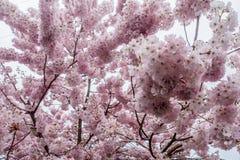 樱花2 -背景 图库摄影