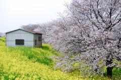 樱花黄色开花的nanohana的隧道和领域在Kumagaya Arakawa绿地公园的在Kumagaya,埼玉,日本 并且kno 免版税库存图片
