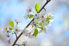 樱花细节 库存图片