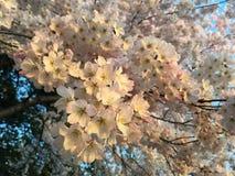 樱花 免版税图库摄影