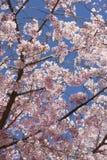 樱花 免版税库存照片