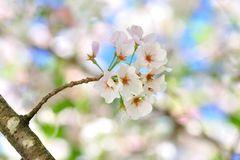 樱花 库存图片