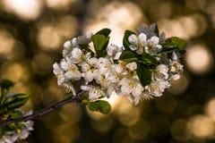樱花 库存照片