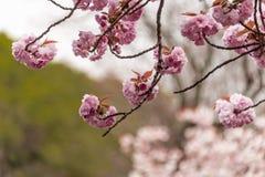 樱花 图库摄影